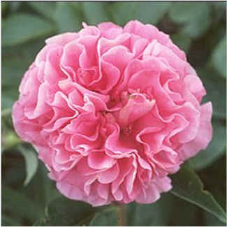 Birth Flowers   Carnation Flower Facts  Information and Meaning     Carnation flowers