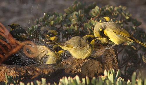Yellow-tufted Honeyeaters bathing