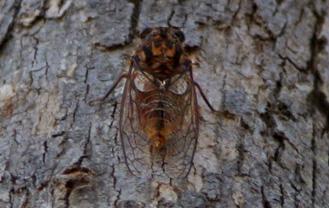 Cicadeta spinosa