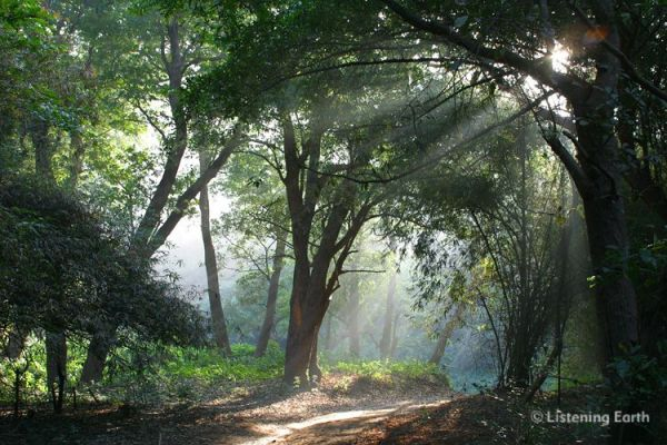 Indian Jungle Dawn - the sounds of morning birdsong ...