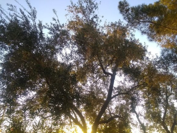 early morning sun in the olive tree