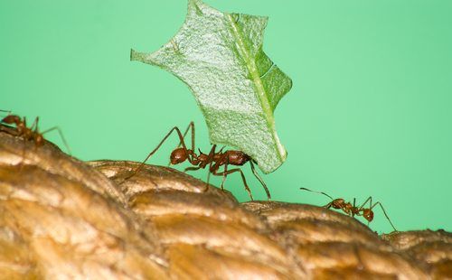 View Question Some Ant Species Can Carry 50 Times Their Body Weight It Takes 32 Ants To The Cherry About How Much Does Each Weigh