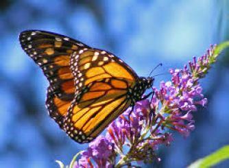 butterfly(1)