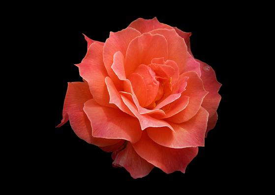 Uma flor rosa com um fundo preto