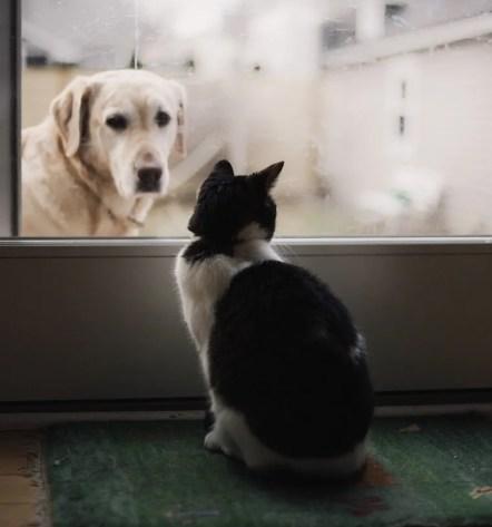 Gato blanco y negro mirando a golden lab dog a través de una puerta de vidrio - cómo presentar gatos y perros