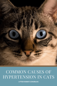 white and brown tabby cat with blue eyes - common causes of hypertension in cats