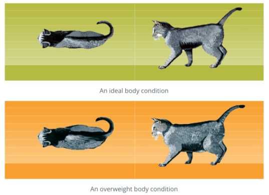 Purina Body Condition Score showing ideal cat body condition and overweight cat body condition - is your cat overeating?