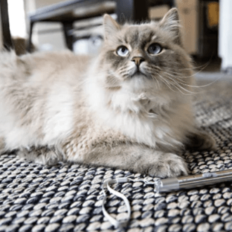 white Siberian cat on the floor with a laser pointer