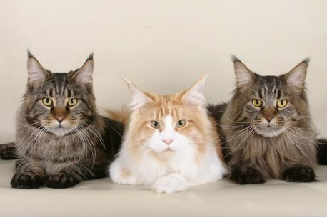 Tres gatos Maine Coon