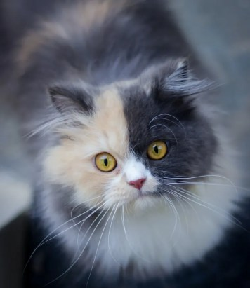 Longhair calico cat - cat coat genetics