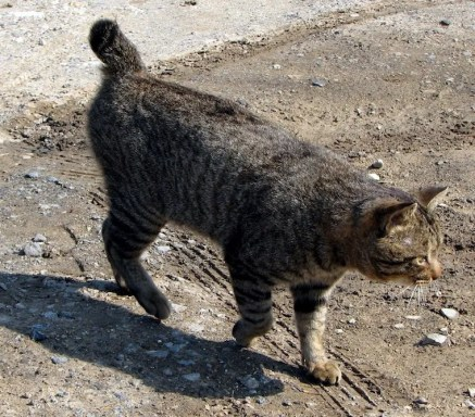 Gato Bobtail americano - gatos bobtail