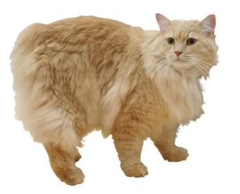 Cymric cat - gatos sin cola