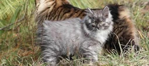 Gatos bobtail y gatos sin cola