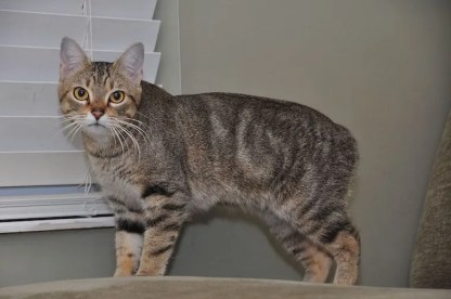 Manx cat - cats without tails