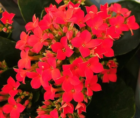 Kalanchoe - plants toxic to cats
