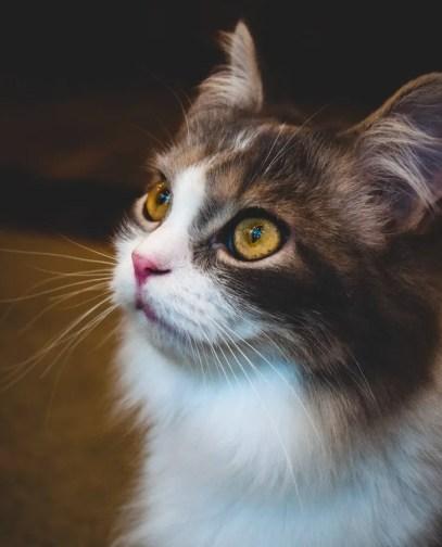 gato de pelo largo con ojos dorados fijos: qué colores pueden ver los gatos