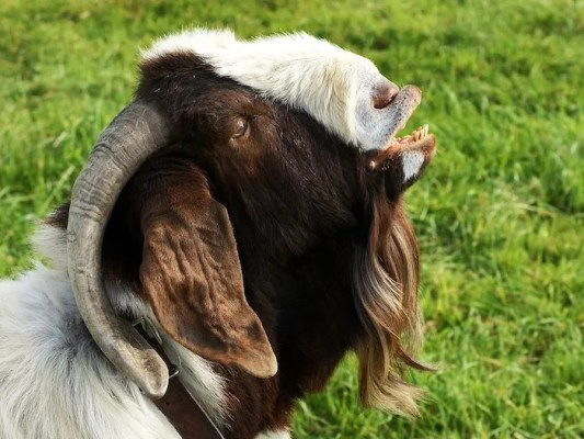goat with mouth open - flehmen response