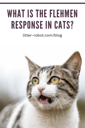 Brown and white tabby with mouth open - what is the flehmen response in cats?