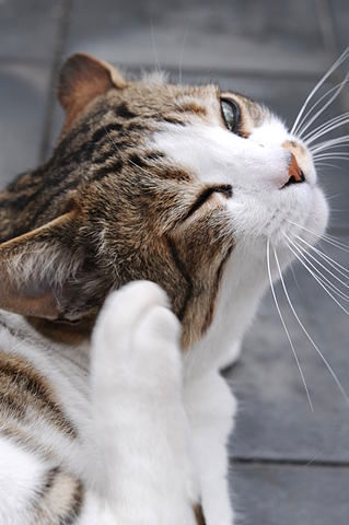 """or """"food allergies"""" to ingredients found in commercial cat food ..."""