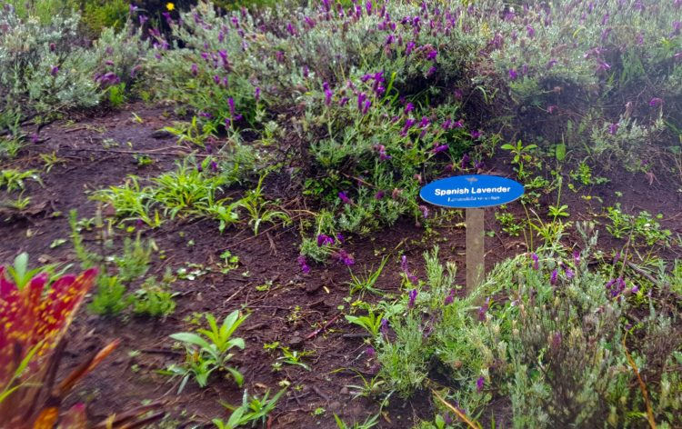 lavender at Alii Kula Lavender Farm Maui Hawaii