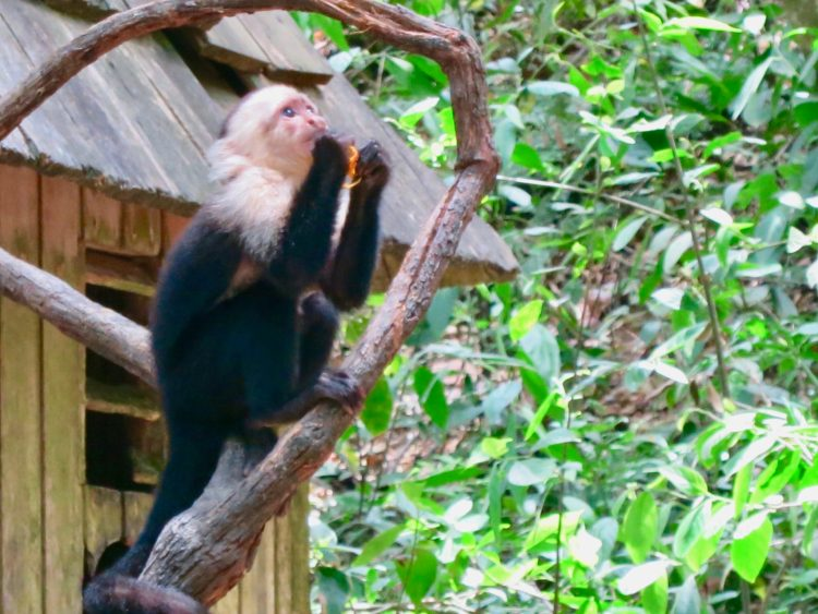 Get up and close with Monkeys in Roatan Honduras - Gumbalimba Park. Read more to do in Roatan on the blog.