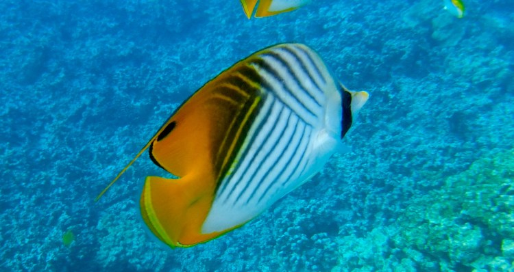 Snorkel Guide to Big Island Hawaii's 2 Step Beach. The best snorkeling on the Big Island!