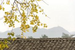 桂林海洋鄉銀杏_Ginkgo in Haiyangxiang,Guilin