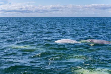Beluga-whales-Churchill-Hudson-Bay