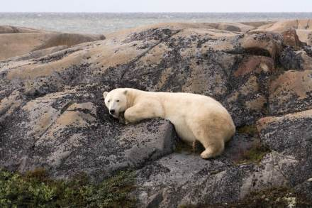 Polar-bear-on-rocks-Churchill