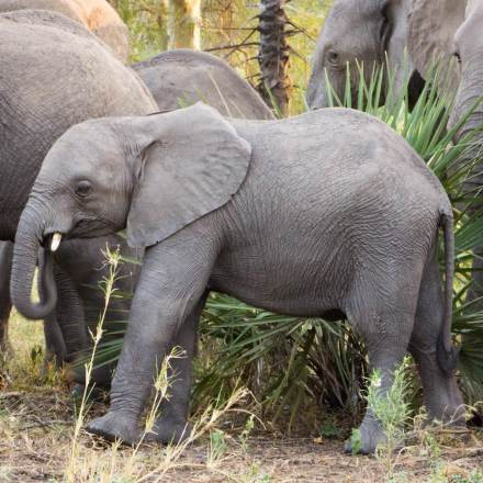 African-Elephant-calf-Gorongosa-National-Park-Mozambique