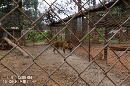 Lion-Animal-Orphanage-Nairobi-Kenya