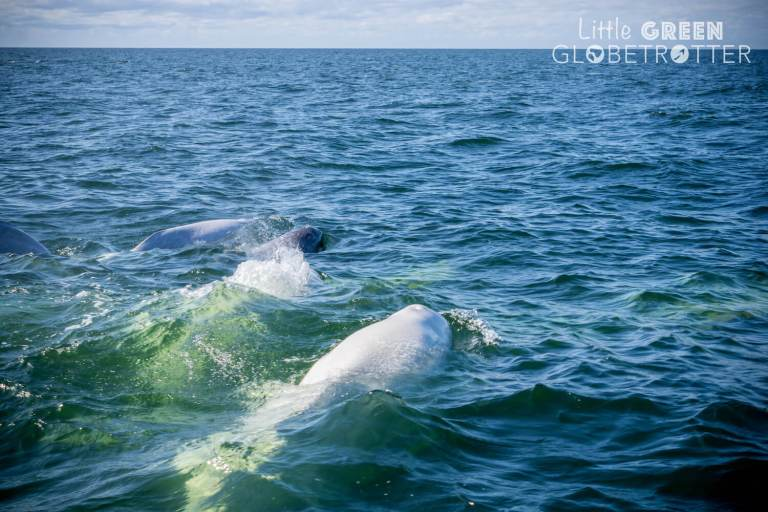 Beluga-whales-Hudson-Bay-Churchill