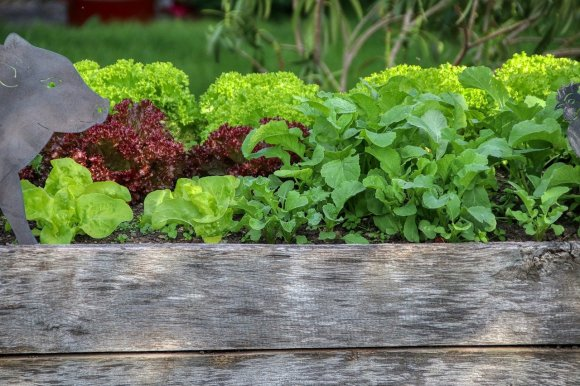 A raised garden bed, with plenty of lettuce and leafy greens growing inside. Building a raised bed is a perfect way to prepare for gardening season.