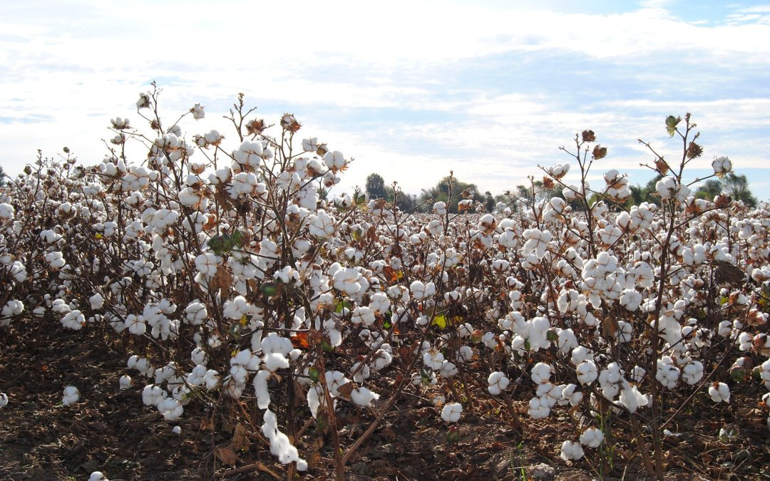 Organic Cotton v Conventional Cotton, the Environmental Impact