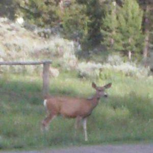 A deer wandering thru camp.