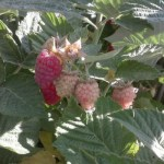Red and unripe raspberries hanging on a raspberry bush
