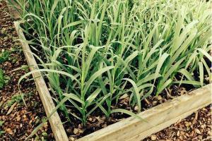 Garden box with garlic