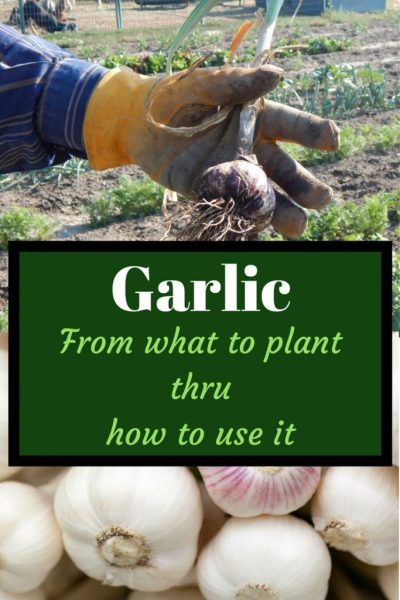 Garlic from what to plant to how we use it ebook, hand wearing a leather glove holding garlic, garlic bulbs white and some light purple and white