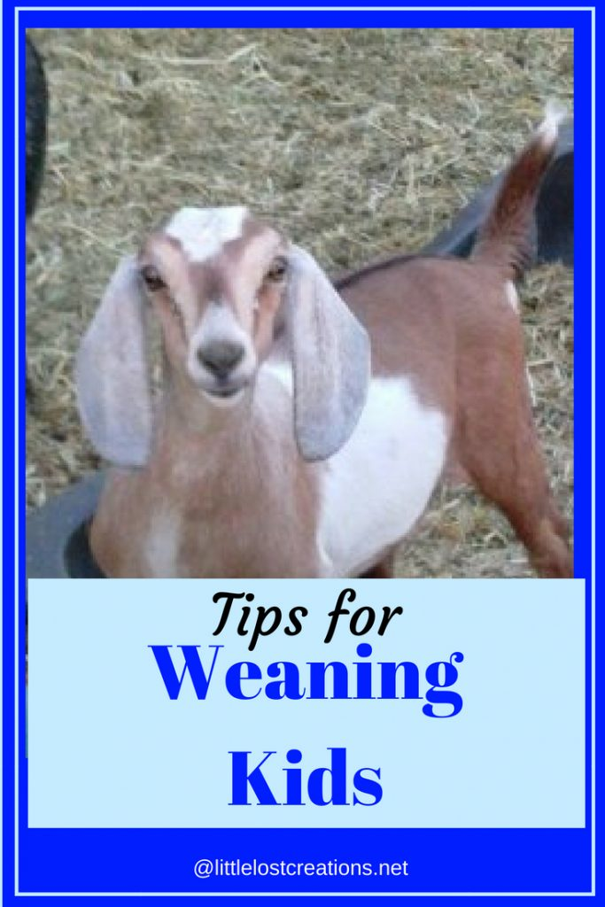 Picture of baby goat kid. Tips for weaning kids