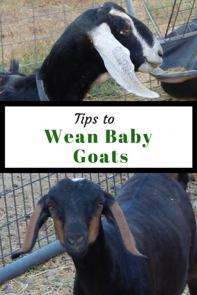 Mother goat, Tips to wean baby goats, goat kid