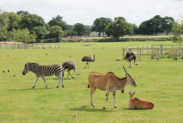 Zebras, ostrich