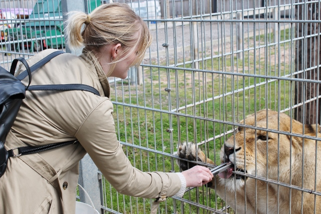 Katy feeding a lion