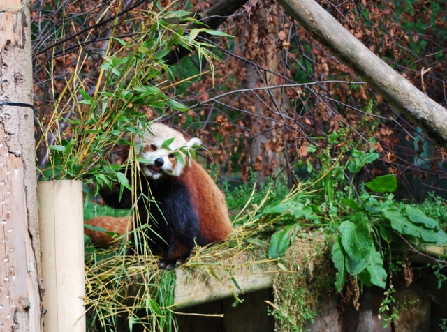 Red Panda at Dublin Zoo