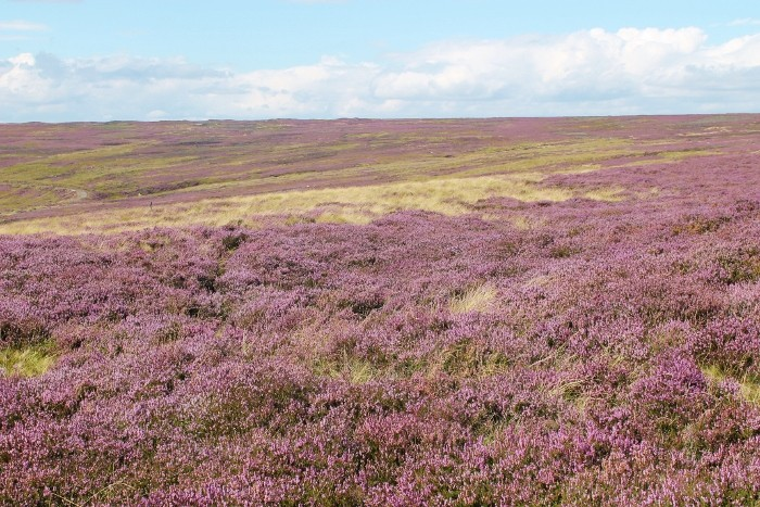 North Yorkshire moors heather
