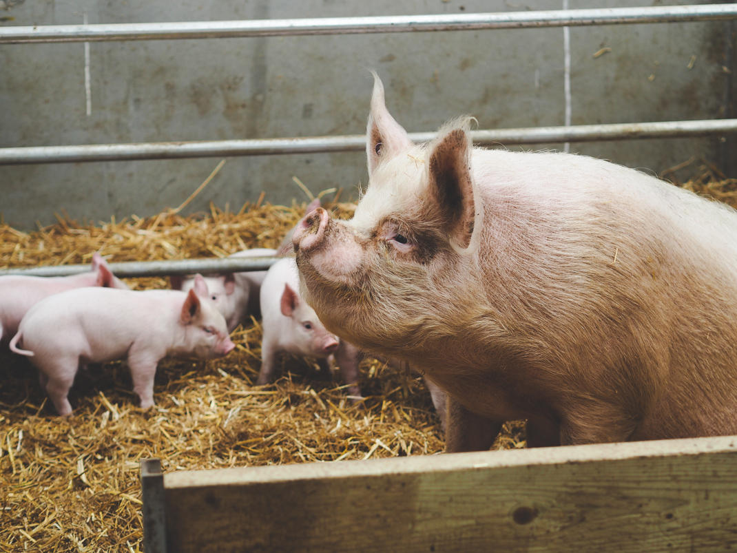Pigs at The Pointer farm in Brill