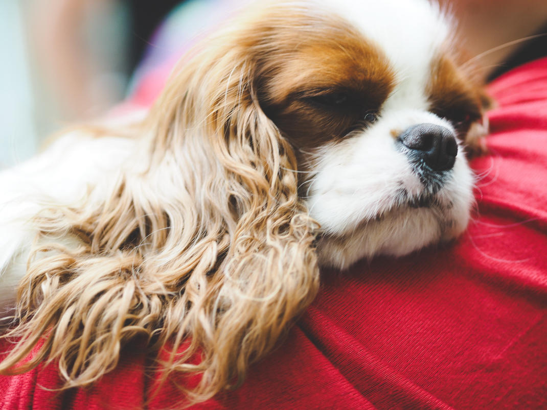 king charles spaniel asleep