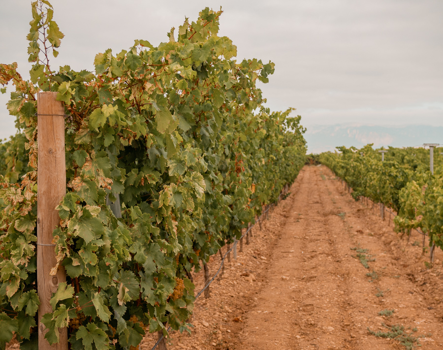 campo viejo vineyard