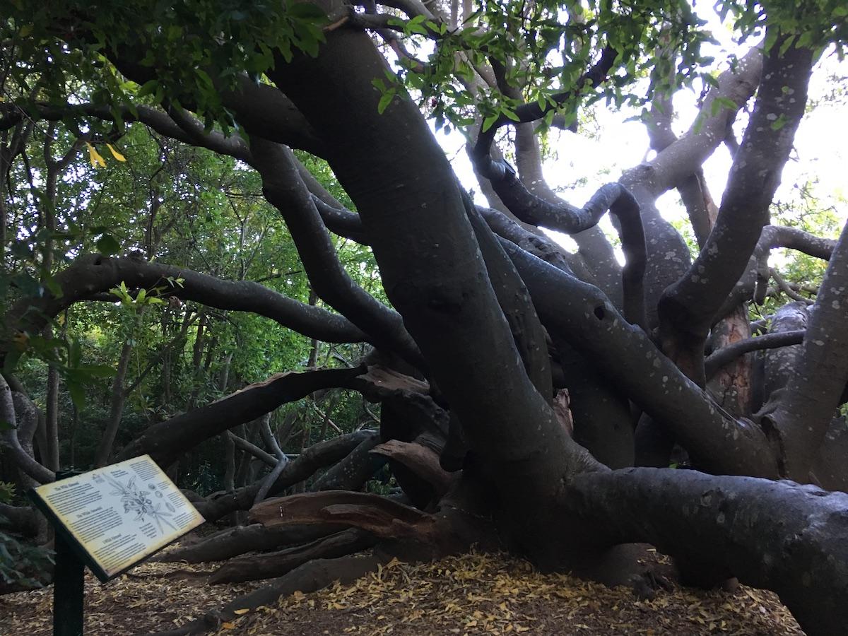 Old Wild Almond Tree at Kirstenbosch National Botanical Garden