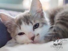 Grey kitten close up