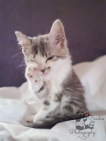 Grey kitten grooming